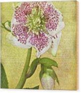 Hellebore Flower Wood Print