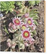Hens And Chicks Flowers Wood Print