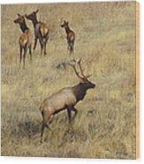 Herd Bull Wood Print