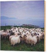 Herding Sheep, Inishtooskert, Blasket Wood Print