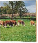 Hereford Bullocks Wood Print