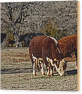 Hereford Cattle Wood Print