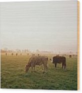 Hereford Cattle, Ireland Wood Print