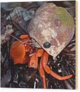 Hermit Crab Wood Print