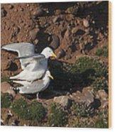 Herring Gulls Mating Wood Print