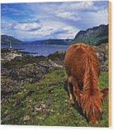 Highland Cattle, Scotland Wood Print