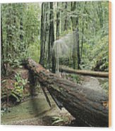 Hiker Moving Over A Fallen Redwood Tree Wood Print