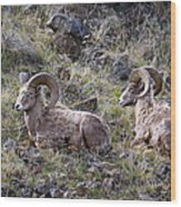 Hillside Rams Wood Print