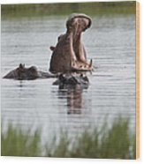 Hippo In Water Exhibits Aggresive Wood Print