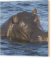 Hippopotamus Hippopotamus Amphibius Wood Print