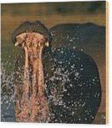 Hippopotamus Hippopotamus Sp., Zambezi Wood Print by Chris Johns
