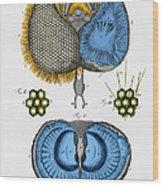 Historical Illustration Of Honey Bee Eye Wood Print