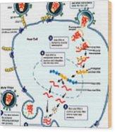 Hiv Virus Replication Cycle Wood Print