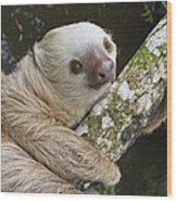 Hoffmanns Two-toed Sloth Costa Rica Wood Print by Suzi Eszterhas