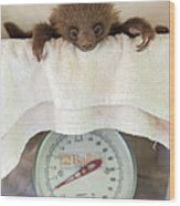 Hoffmanns Two-toed Sloth Orphan Wood Print by Suzi Eszterhas