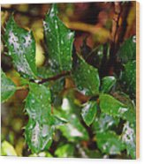 Holly Daze Dew Drops Wood Print