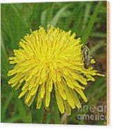 Honey Bee Full Of Pollen Wood Print