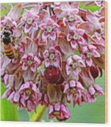 Honeybee On Milkweed Wood Print