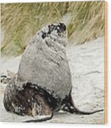 Hooker's Sea Lion Wood Print