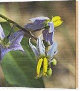 Horse Nettle Nightshade - Solanum Carolinense Wood Print