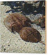 Horseshoe Crabs Wood Print