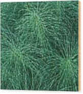 Horsetail Fern Wood Print