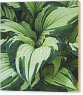 Hosta Albo-picta Foliage Wood Print