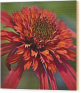 Hot Papaya Hybrid Coneflower Wood Print