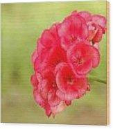 Hot Pink Geranium Wood Print