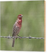 House Finch - Content Wood Print