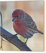 Housefinch IIi Wood Print