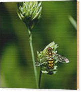Hoverfly On Grass Wood Print