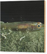 Hovering Goby On A Green Sponge, Fiji Wood Print