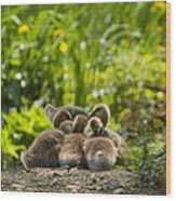 Huddled Goslings Baby Geese Along River's Edge Wood Print