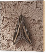 Huge Moth On Stucco In Las Vegas Wood Print