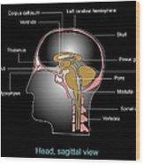 Human Brain Anatomy, Artwork Wood Print