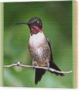 Hummingbird - Male - Will Soon Be Grown Wood Print
