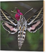 Hummingbird Moth - White-lined Sphinx Moth Wood Print
