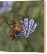Hummingbird Or Clearwing Moth Din137 Wood Print
