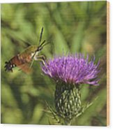 Hummingbird Or Clearwing Moth Din141 Wood Print
