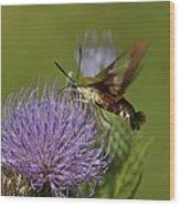 Hummingbird Or Clearwing Moth Din178 Wood Print