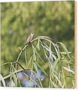 Hummingbird Resting In The Willow Wood Print