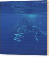 Humpback Whale Calf And Mother Wood Print