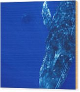 Humpback Whale Singer And Joiner Maui Wood Print