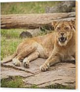 Hungry Lion Wood Print