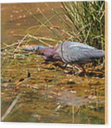 Hunting Green Heron - C9822b Wood Print