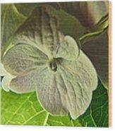 Hydrangea Macro Wood Print