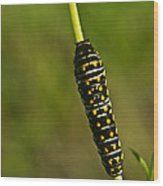 Hymenoptera Larva 2 Wood Print