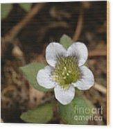 Hyoscyamus Flower Wood Print