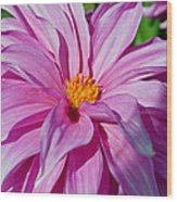 Ice Pink Dahlia Wood Print